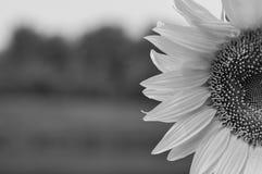 Ηλίανθος μονοχρωματικός στοκ φωτογραφία με δικαίωμα ελεύθερης χρήσης