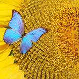 ηλίανθος πεταλούδων Στοκ Φωτογραφία