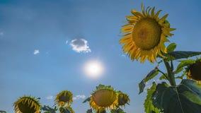 Ηλίανθος σε ένα υπόβαθρο των σύννεφων και του φωτεινού ήλιου Timelapse απόθεμα βίντεο