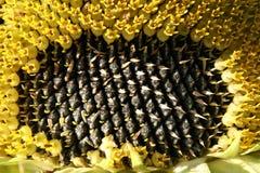 ηλίανθος σπόρων Στοκ φωτογραφία με δικαίωμα ελεύθερης χρήσης