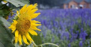 Ηλίανθος στον τομέα lavender Στοκ Εικόνες