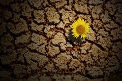 Ηλίανθος στο χώμα grunge Στοκ φωτογραφίες με δικαίωμα ελεύθερης χρήσης