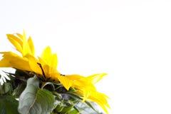 ηλίανθος helianthus annuus Στοκ εικόνα με δικαίωμα ελεύθερης χρήσης