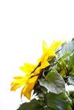 ηλίανθος helianthus annuus Στοκ φωτογραφία με δικαίωμα ελεύθερης χρήσης