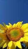 ηλίανθος helianthus annuus Στοκ φωτογραφίες με δικαίωμα ελεύθερης χρήσης