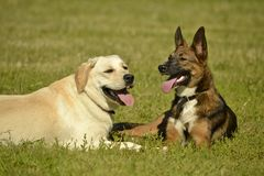 Ηλίαση, υγεία των κατοικίδιων ζώων το καλοκαίρι Λαμπραντόρ Παιχνίδι σκυλιών το ένα με το άλλο Πώς να προστατεύσει το σκυλί σας απ στοκ φωτογραφία με δικαίωμα ελεύθερης χρήσης
