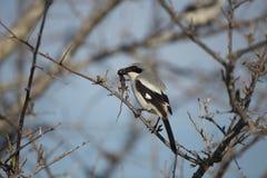 Ηλίθιος Shrike που τρώει τη σαύρα Στοκ εικόνα με δικαίωμα ελεύθερης χρήσης
