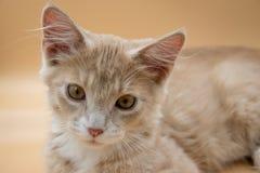 ηλικίας αρσενική αμμώδης πορτοκαλιά τοποθέτηση γατακιών 13 εβδομάδων για τις εικόνες σε ένα λ Στοκ Φωτογραφίες