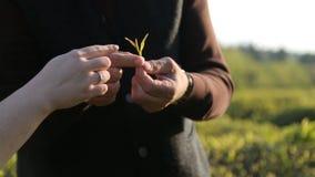 Ηλικιωμένη γυναίκα skillfully λυσσασμένη από τα τοπ φύλλα από το φυτό τσαγιού, χαμηλόμισθη εργασία φιλμ μικρού μήκους