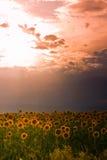 ηλιοβασίλεμα ηλίανθων τ&om Στοκ εικόνα με δικαίωμα ελεύθερης χρήσης