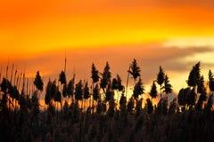 ηλιοβασίλεμα καλάμων Στοκ Εικόνες
