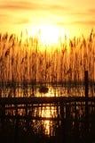 ηλιοβασίλεμα καλάμων Στοκ εικόνα με δικαίωμα ελεύθερης χρήσης