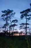 Ηλιοβασίλεμα μέσω των κλάδων πεύκων ενάντια ανασκόπησης μπλε σύννεφων πεδίων άσπρο σε wispy ουρανού φύσης χλόης πράσινο Στοκ εικόνες με δικαίωμα ελεύθερης χρήσης