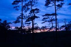 Ηλιοβασίλεμα μέσω των κλάδων πεύκων ενάντια ανασκόπησης μπλε σύννεφων πεδίων άσπρο σε wispy ουρανού φύσης χλόης πράσινο Στοκ φωτογραφία με δικαίωμα ελεύθερης χρήσης