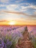 Ηλιοβασίλεμα πέρα από έναν ιώδη lavender τομέα Στοκ Εικόνες