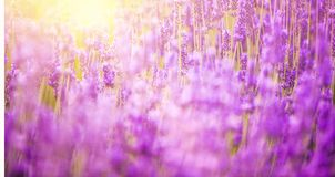 Ηλιοβασίλεμα πέρα από έναν lavender τομέα Στοκ Φωτογραφία