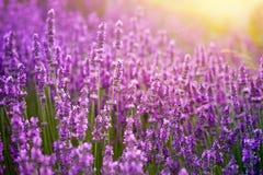 Ηλιοβασίλεμα πέρα από ιώδες lavender Στοκ Φωτογραφίες
