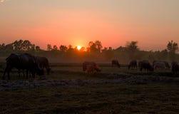 Ηλιοβασίλεμα σε έναν τομέα χωρών με τους βούβαλους που βόσκουν, βορειοανατολική Ταϊλάνδη, Ασία στοκ εικόνες με δικαίωμα ελεύθερης χρήσης