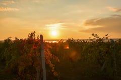 Ηλιοβασίλεμα στον αμπελώνα Στοκ εικόνα με δικαίωμα ελεύθερης χρήσης