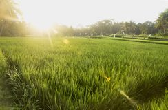 Ηλιοβασίλεμα στο ricefield Ubud, Μπαλί, Ινδονησία Στοκ Φωτογραφίες