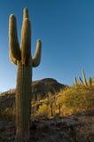 ηλιοβασίλεμα saguaro Στοκ Φωτογραφίες