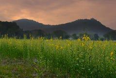 ηλιοβασίλεμα sunhemp στον τομέα λουλουδιών λιβάδι χλωρίδας με τη θέα βουνού Στοκ εικόνα με δικαίωμα ελεύθερης χρήσης