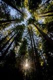 Ηλιοφάνεια που ανατρέχει μέσω των δέντρων redwood Στοκ εικόνα με δικαίωμα ελεύθερης χρήσης