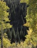 Ηλιοφώτιστα δέντρα κωνοφόρων και aspens στο λοφιοφόρο λόφο Κολοράντο Αμερική περασμάτων Kebler στον ήλιο πρωινού της πτώσης στοκ εικόνες