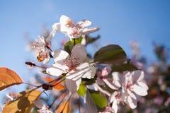 Ηλιοφώτιστη άνθηση κινηματογραφήσεων σε πρώτο πλάνο χλωμή - ρόδινα λουλούδια sakura στο μπλε ουρανό Στοκ Φωτογραφίες
