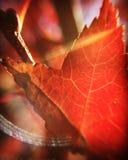 Ηλιοφώτιστη μακροεντολή φύλλων φθινοπώρου Στοκ εικόνες με δικαίωμα ελεύθερης χρήσης