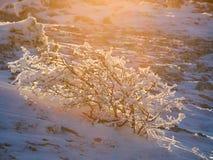 Ηλιοφώτιστος αποκλεισμένος από τα χιόνια θάμνος Στοκ Εικόνα