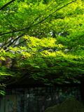 Ηλιοφώτιστος καλύπτει τα φρέσκα φύλλα στοκ εικόνα με δικαίωμα ελεύθερης χρήσης