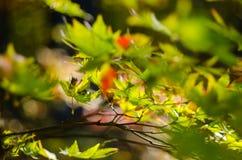 Ηλιοφώτιστος κλάδος δέντρων με τα πράσινα φύλλα σφενδάμου ενάντια σε μια θολωμένη ΤΣΕ στοκ εικόνες