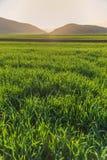 Ηλιοφώτιστος τομέας χλόης σίτου στοκ φωτογραφία