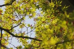 Ηλιοφώτιστος φωτισμός στα φρέσκα φύλλα στοκ εικόνες με δικαίωμα ελεύθερης χρήσης