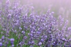 Ηλιοφώτιστος lavender τομέας στοκ εικόνες με δικαίωμα ελεύθερης χρήσης