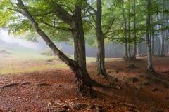 Ηλιοφώτιστο δάσος οξιών Στοκ Φωτογραφίες