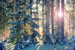 Ηλιόλουστη σκηνή στο δάσος έλατου Στοκ Φωτογραφίες