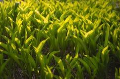 Ηλιόλουστοι πράσινοι νέοι νεαροί βλαστοί των λουλουδιών τουλιπών Στοκ εικόνες με δικαίωμα ελεύθερης χρήσης