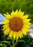Ηλιόλουστος ηλίανθος κερασιών που αντιμετωπίζει τον ήλιο σε έναν κήπο στοκ εικόνες