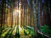 Ηλιόλουστο δασικό τοπίο, ήλιος μέσω των δέντρων στοκ φωτογραφίες