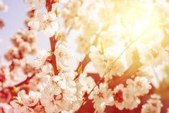 Ημέρα ανθών κερασιών ηλιόλουστη την άνοιξη Φυσική ανασκόπηση Στοκ Φωτογραφία