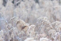 Ημέρα παγετού χιονιού καλάμων Στοκ Φωτογραφίες