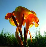 Ημέρα & x27 πατέρων λουλούδι του s της Ταϊλάνδης Στοκ φωτογραφίες με δικαίωμα ελεύθερης χρήσης