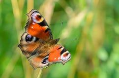 Ημέρα πεταλούδων peacock Στοκ φωτογραφία με δικαίωμα ελεύθερης χρήσης