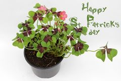Ημέρα του ST Πάτρικ ` s Τριφύλλι τεσσάρων φύλλων που απομονώνεται στο άσπρο υπόβαθρο με το διάστημα αντιγράφων Φυτό τριφυλλιού τε Στοκ Φωτογραφία