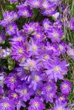 Ημέρα Anemone την άνοιξη Στοκ Εικόνες