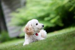 2 3 4 6 ημέρες ανασκόπησης που αναπτύσσουν το μικροσκοπικό poodle λευκό εβδομάδας κουταβιών Στοκ Εικόνες