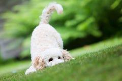 2 3 4 6 ημέρες ανασκόπησης που αναπτύσσουν το μικροσκοπικό poodle λευκό εβδομάδας κουταβιών Στοκ Φωτογραφίες