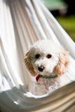 2 3 4 6 ημέρες ανασκόπησης που αναπτύσσουν το μικροσκοπικό poodle λευκό εβδομάδας κουταβιών Στοκ εικόνες με δικαίωμα ελεύθερης χρήσης